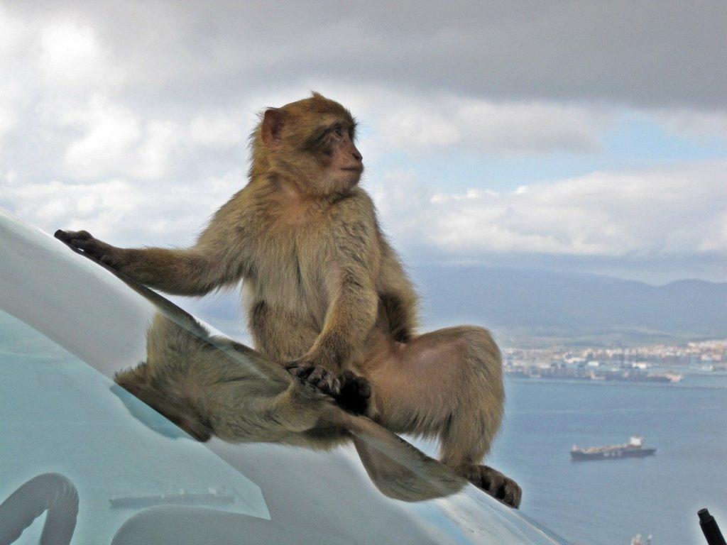 Affen Gibraltar