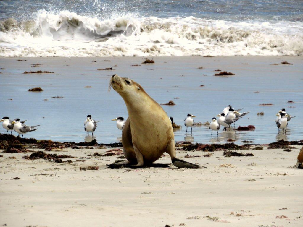 Seal Bay Australien Kangaroo Island