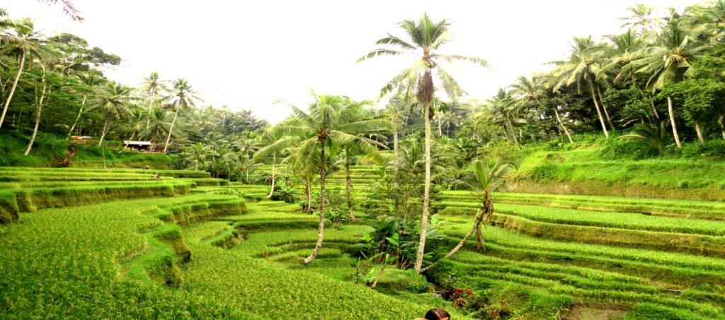 Ubud Bali Reisterrassen
