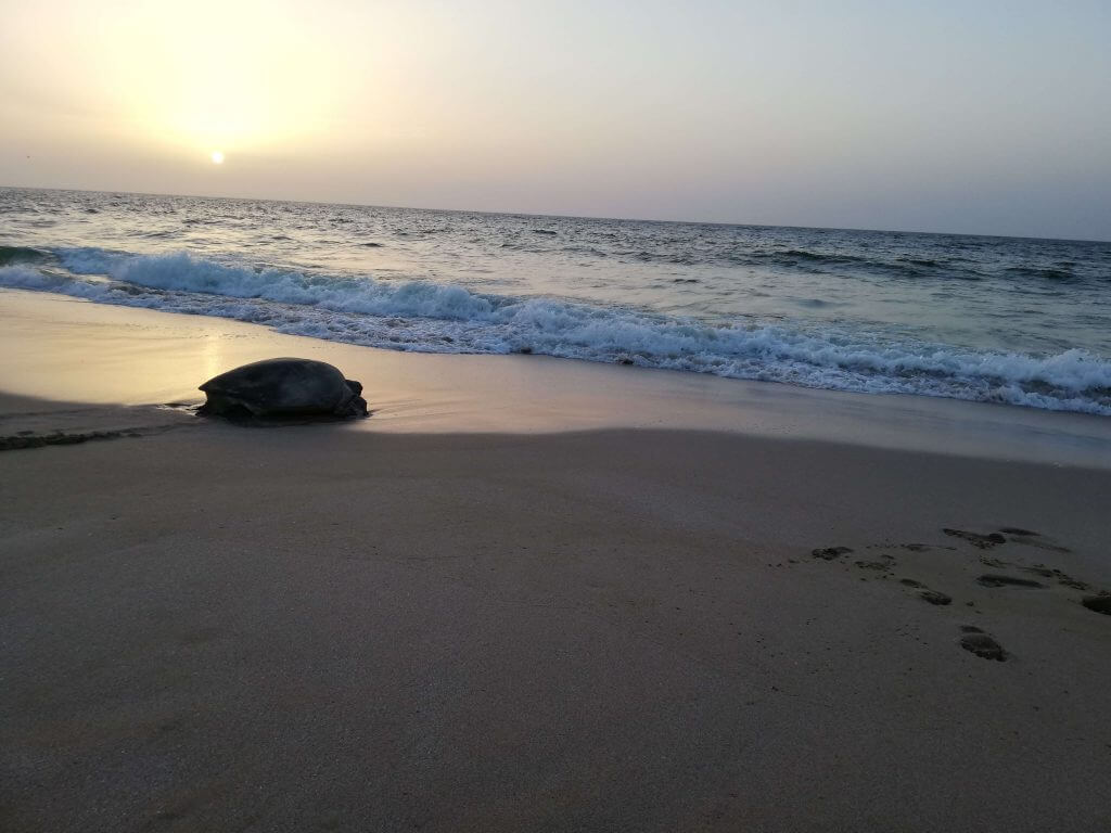 Schildkrötenbeobachtung Oman