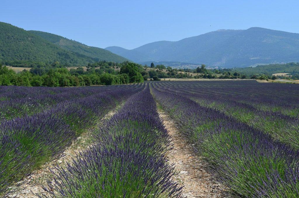 Lavendelblüte in der Provence auf der Lavendelroute
