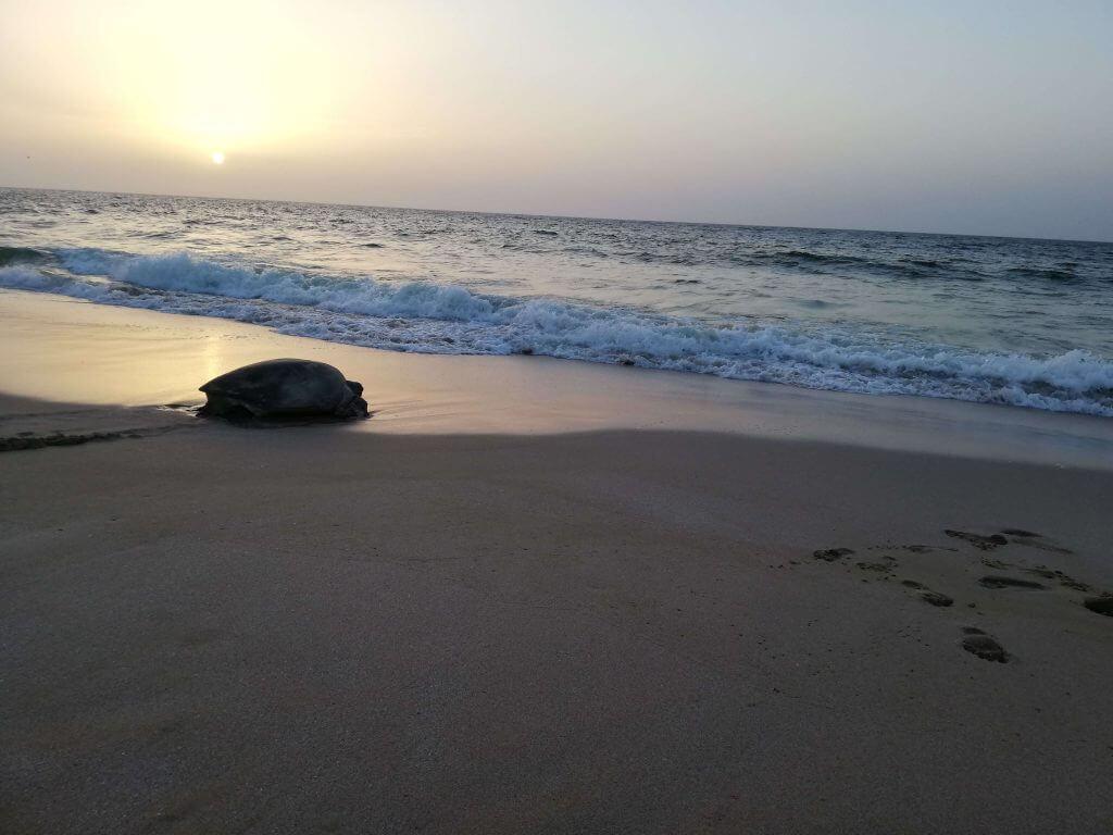 Ras al Jinz Oman Turtle Beach