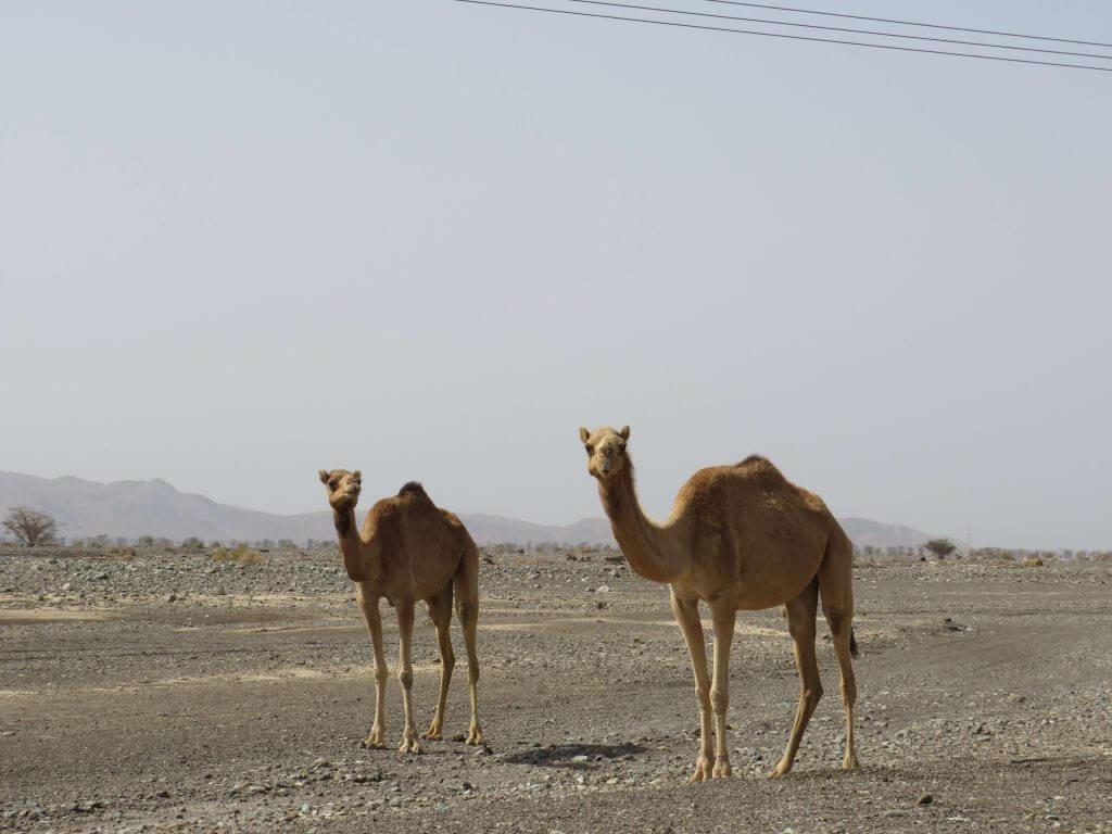 Kamele auf der Straße im Oman