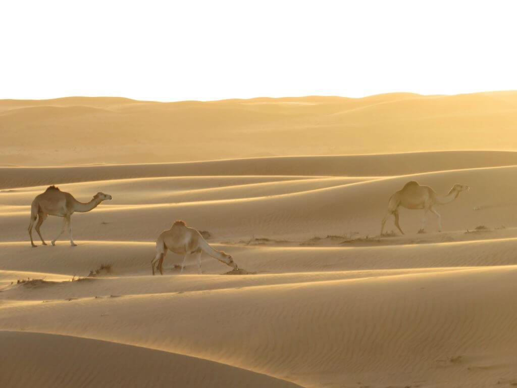 Kamele Wüste Oman