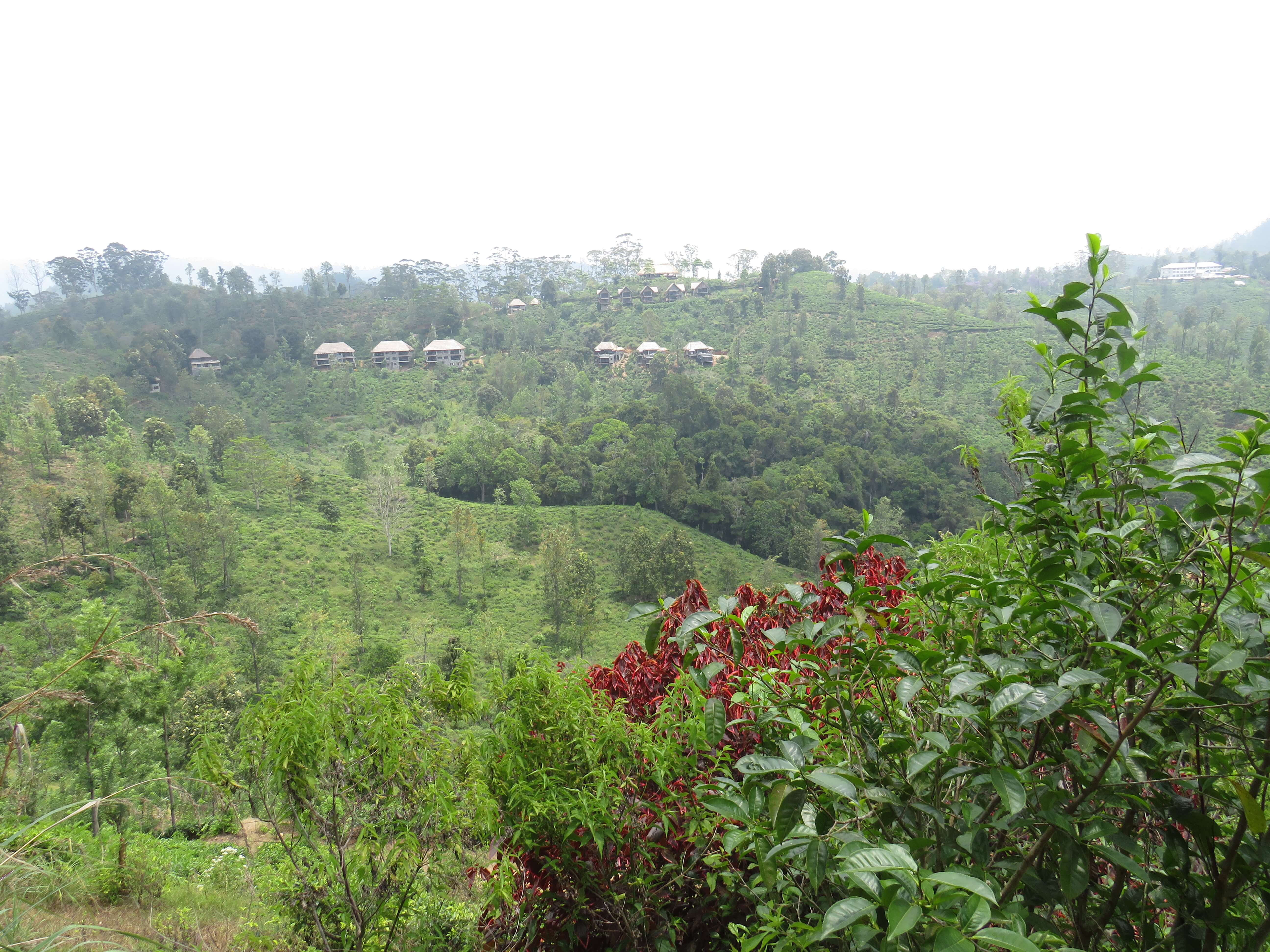 Eine Teeplantage in Sri Lanka