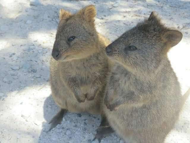 Quokkas Australien