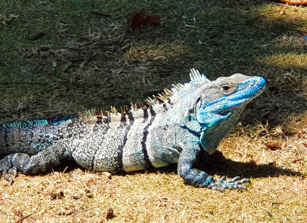 Leguan Costa Rica